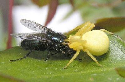 gelbe spinne bereitet eine schwarze fliege zu. Black Bedroom Furniture Sets. Home Design Ideas